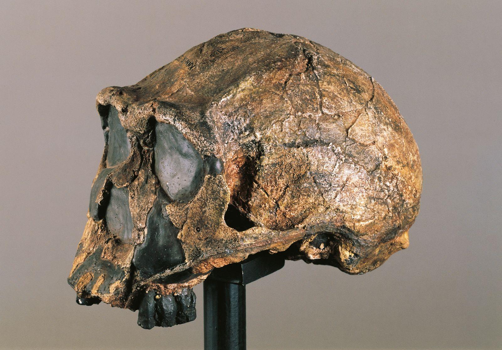 Skull of Homo erectus, from Kenya
