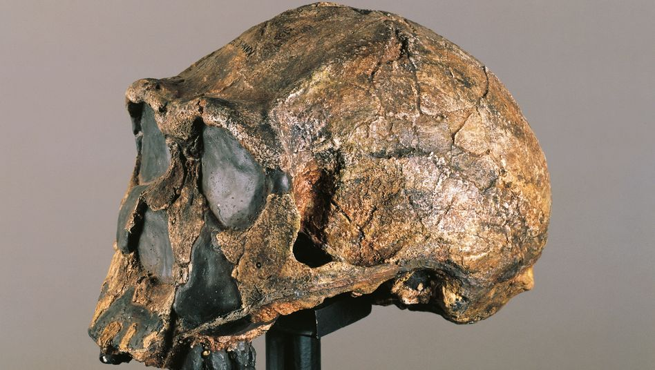 Homo-erectus-Schädel: Ähnelte die Geisterart diesem Urzeitgesellen?