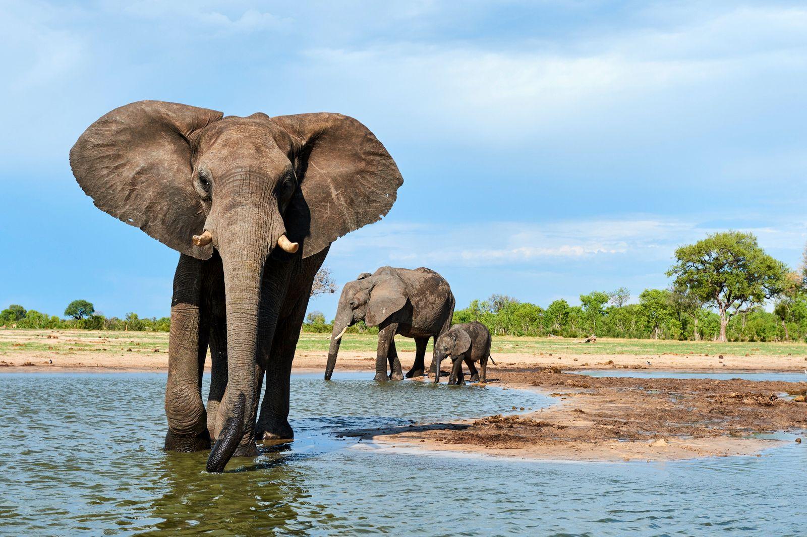 African elephant group (Loxodonta africana) drinking at a watehole. Hwange National Park, Zimbabwe. (Eric Baccega)