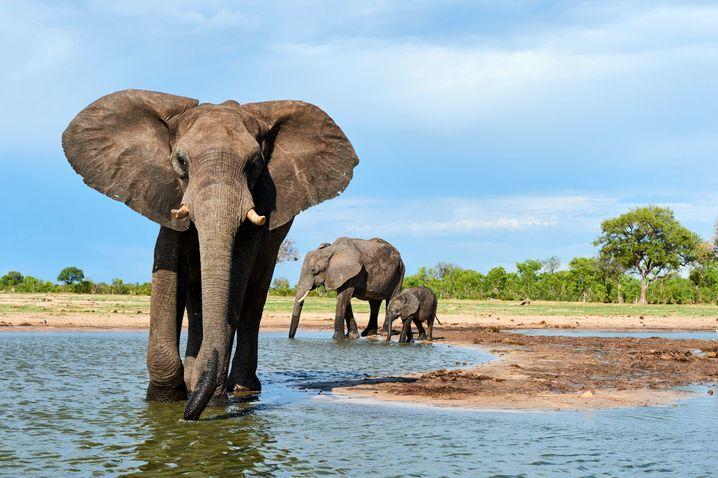 Afrikanische Elefanten kühlen sich mithilfe ihrer Ohren ab