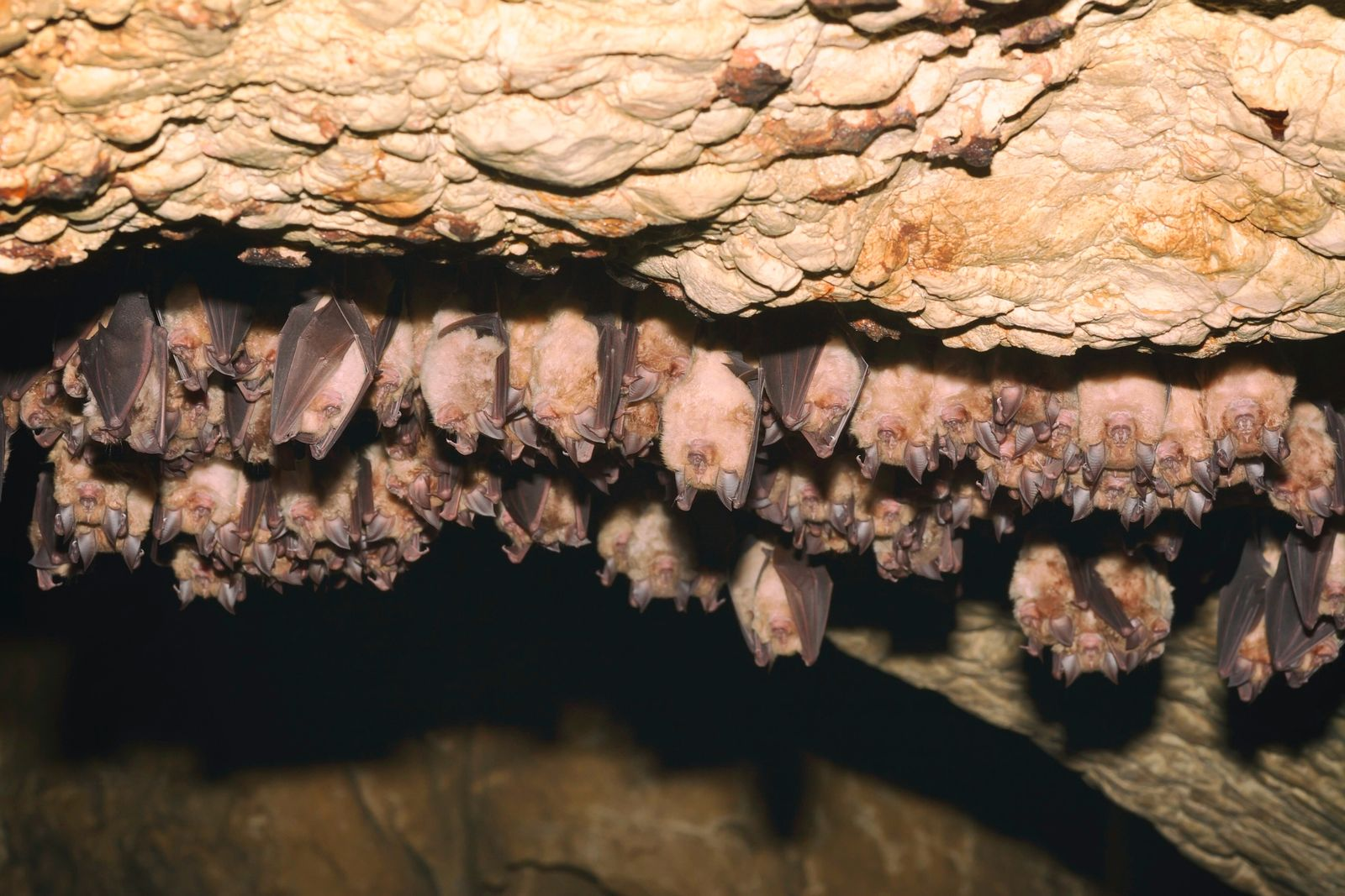 Groups of sleeping bats in cave - Lesser mouse-eared bat (Myotis blythii) and (Rhinolophus hipposideros) - Lesser Horseshoe Bat (remus20)