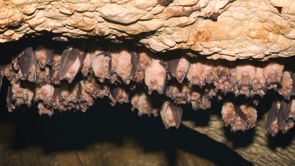 Fledermäuse in einer Höhle