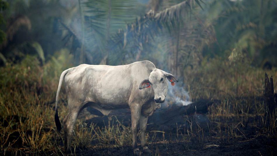 Rind vor brennendem Regenwald: Durch illegale Brandrodung schaffen die Grundbesitzer Platz für die Tierhaltung und den Sojaanbau.