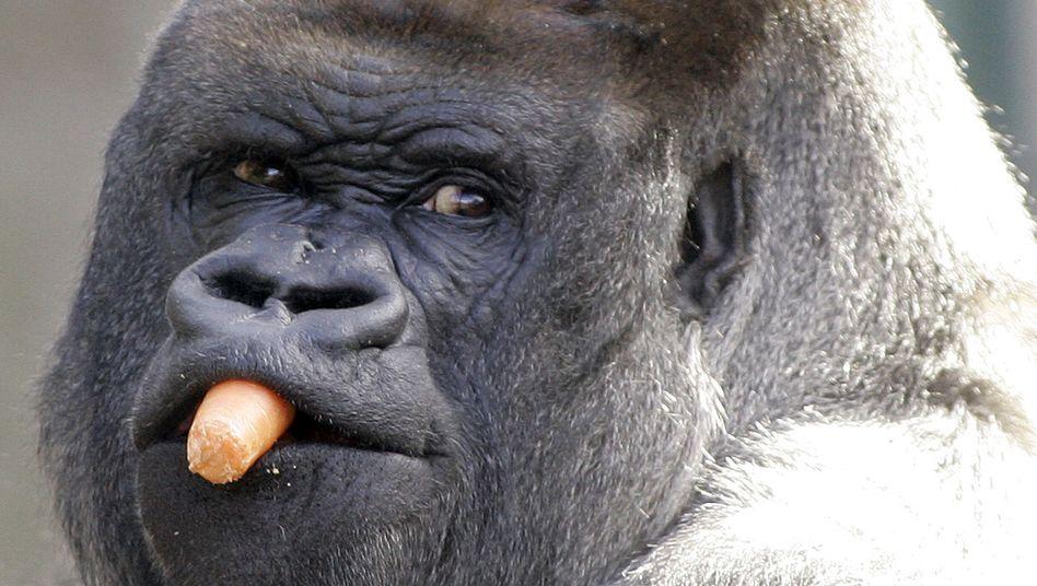Gorilla mit Rohkost: Noch mehr Essen würde zu viel Zeit kosten