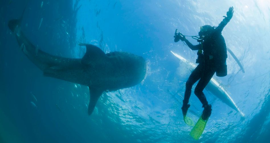 Taucher und Walhai im Jahr 2013 (Symbolbild): Vom Schwanz des Tieres getroffen