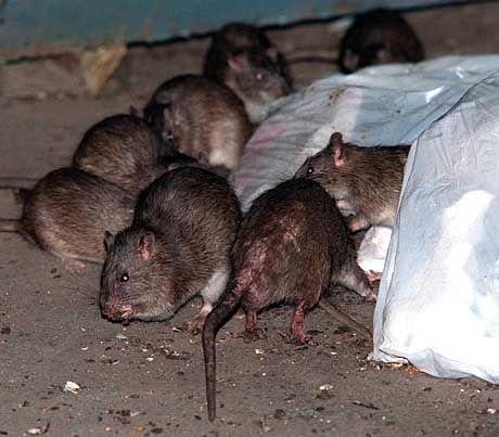Ratten im Kinderzimmer: Unkontrolliert vermehrt