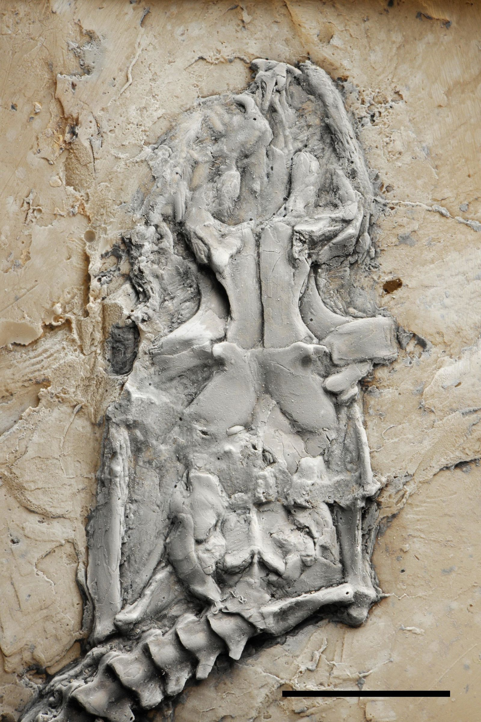 Fossile Python