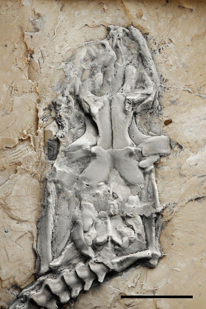 Kopf eines fossilen Pythons: Zusammenleben mit anatomisch ähnlichen Verwandten