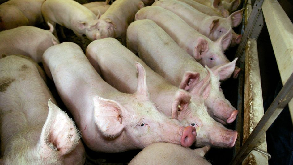 Schweine in einem Zuchtbetrieb in Hessen (Archiv)