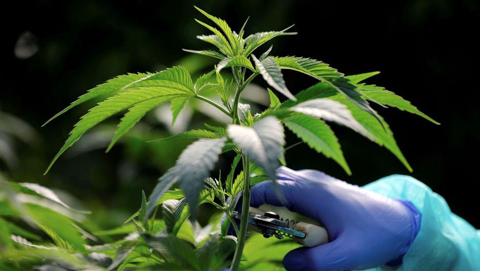 Cannabis-Pflanze (Symbolbild)