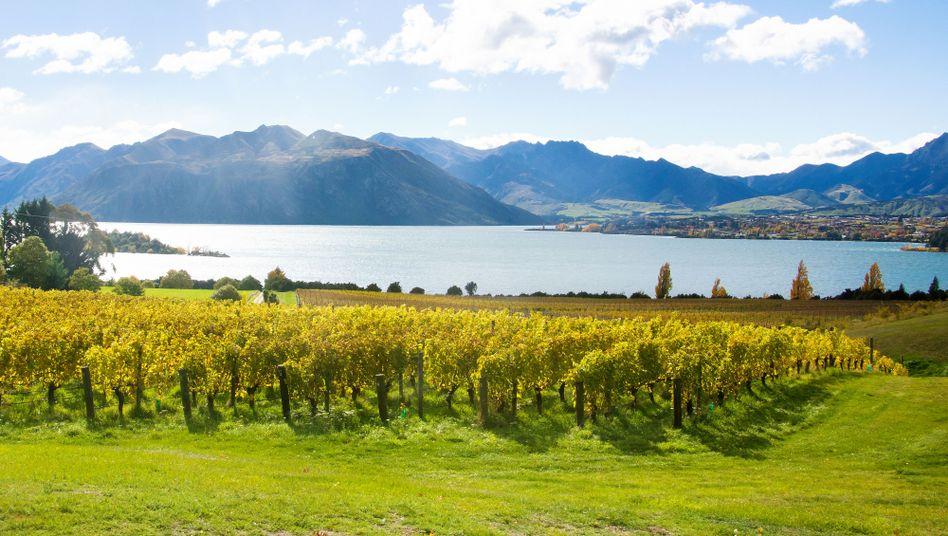 Weinreben am Lake Wanaka