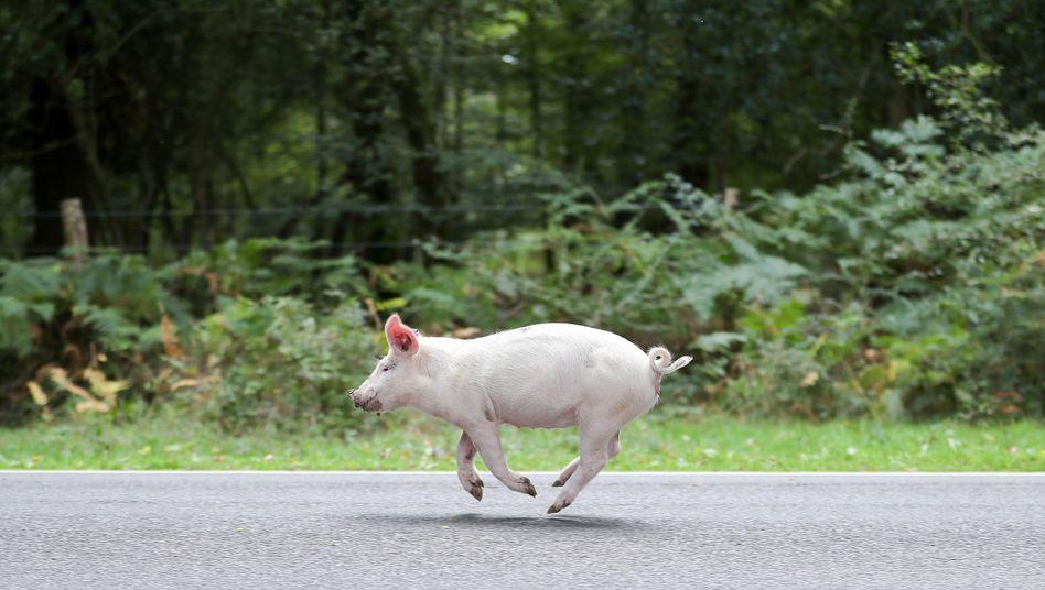 Ein Schwein unterwegs (nicht in Hessen)