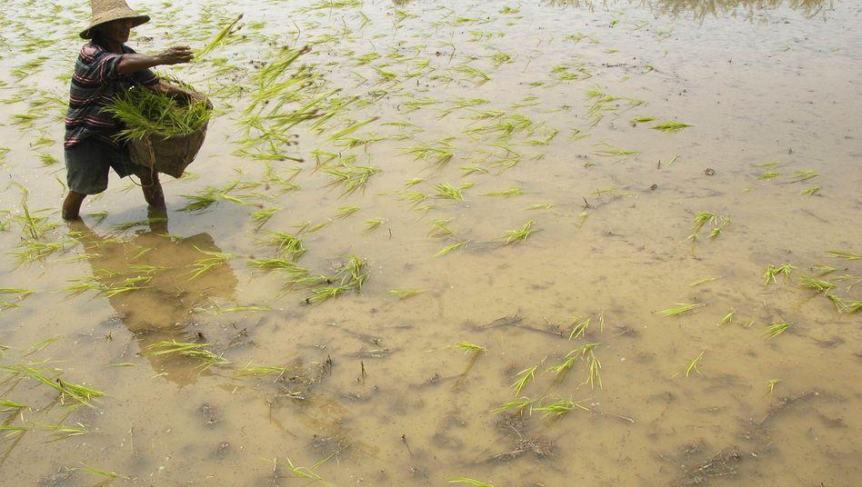 Chinesischer Reisbauer: Grenzwerte auf zehn Prozent der Felder überschritten