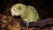 Neuseelands Vogelwelt bräuchte 50 Millionen Jahre, um sich zu erholen