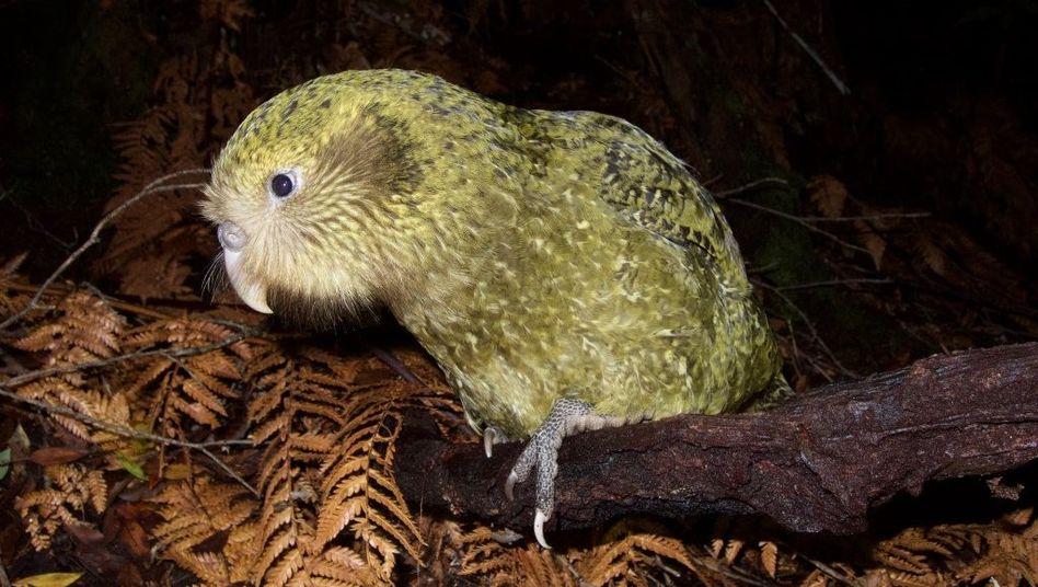Eingeschleppte Fressfeinde: Neuseelands Vogelwelt bräuchte 50 Millionen Jahre, um sich zu erholen