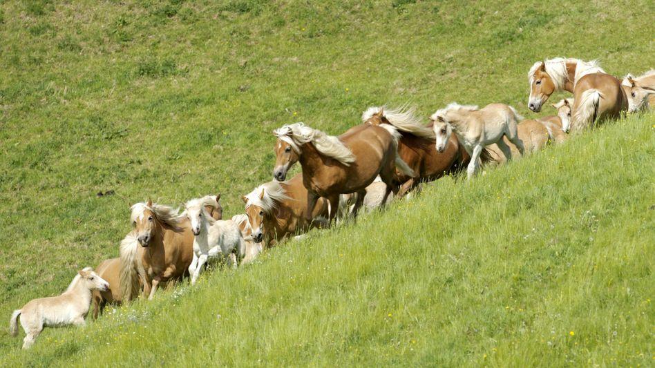 Haflinger in Meura: Tod durch Lebensbaum