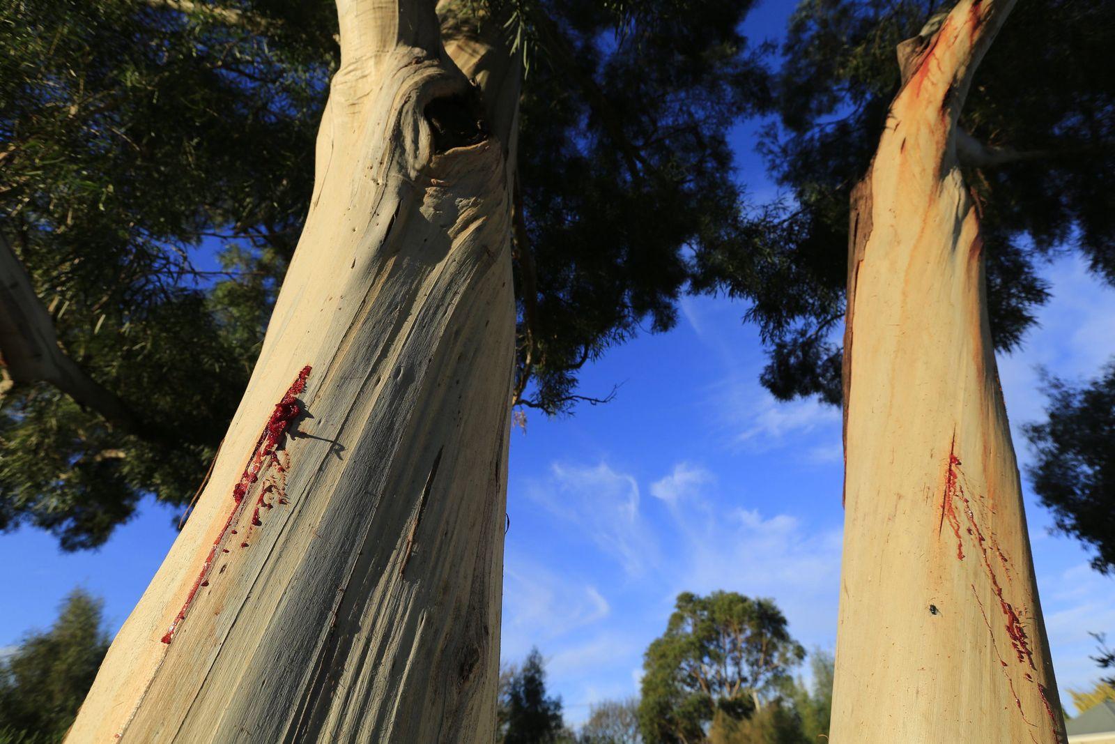 Wald / Tasmanien