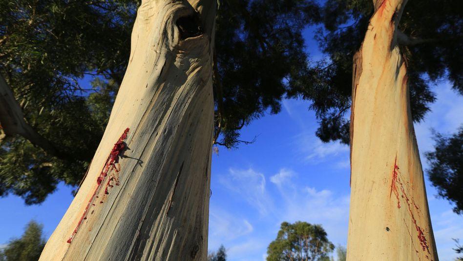 Eukalyptusbäume in Tasmanien: Australien will den Welterbe-Status des Waldes loswerden