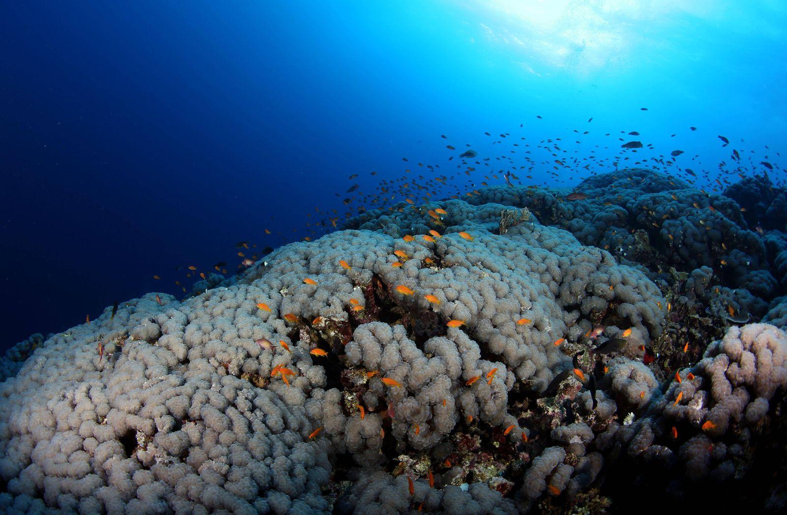 EINMALIGE VERWENDUNG Tiefsee Korallen