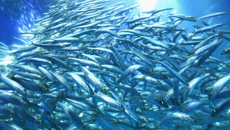 Ein Sardinenschwarm in einer Aquakultur in Japan: Wenn das Angebot aus dem Meer zurückgeht, müssen noch mehr Fische künstlich aufgezogen werden.