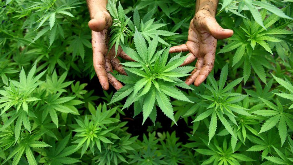 Hanfpflanzen einer Cannabis-Plantage in Israel