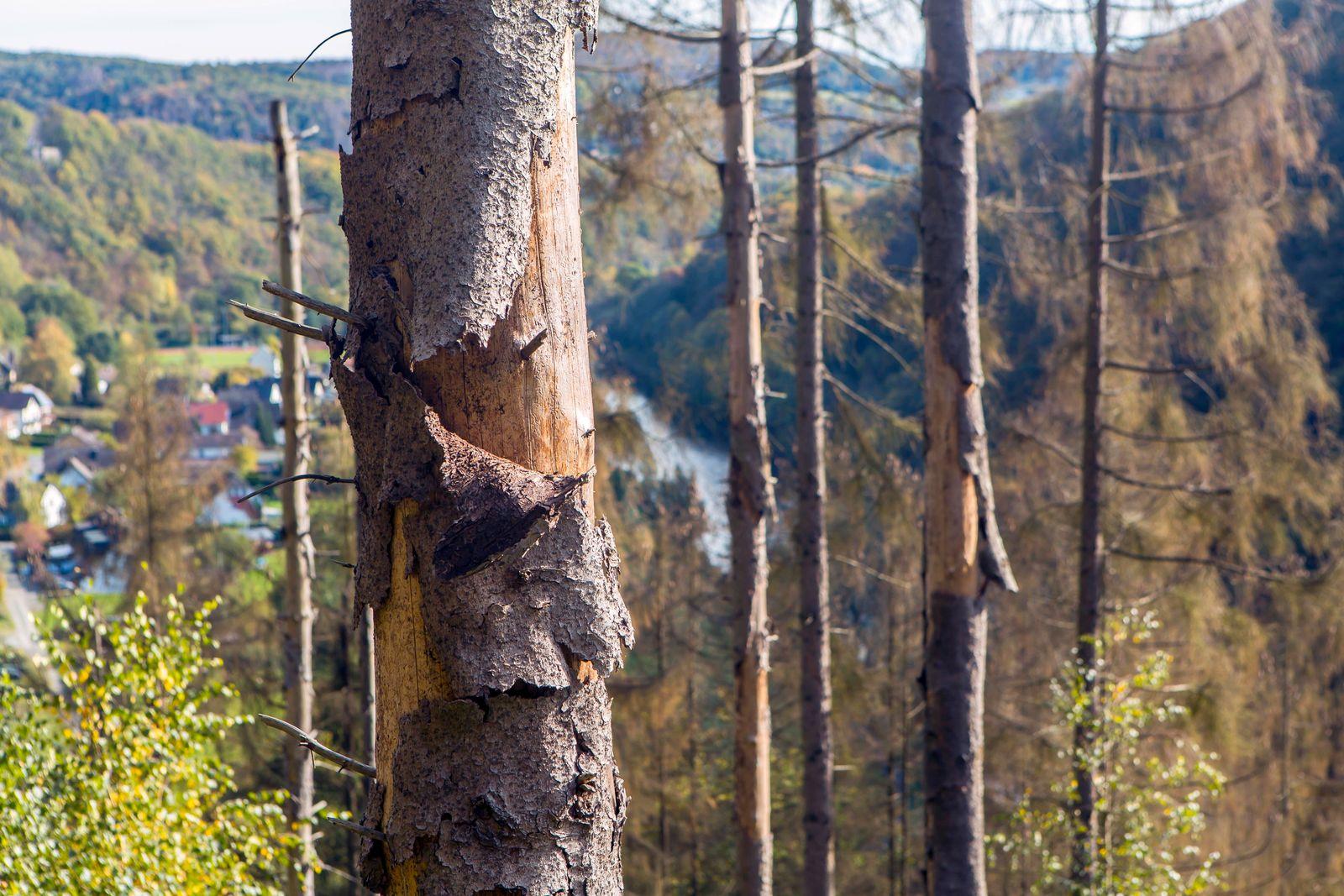 Vertrocknete Fichten in einem Wald in der Nähe von Windeck-Herchen ( Rhein-Sieg-Kreis / NRW ). In Flachlagen könnte es b