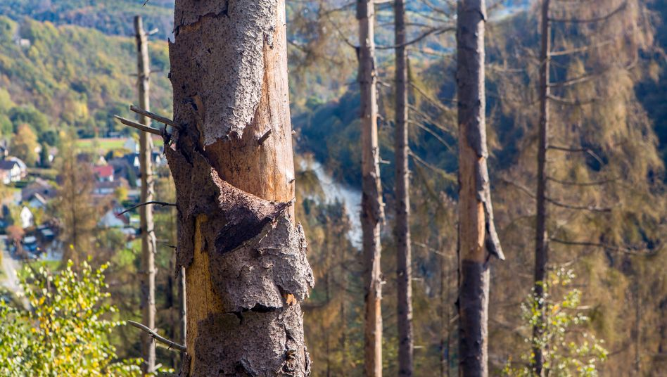 Fichtensterben in einem Wald in Nordrhein-Westfalen: Sie leiden unter der Trockenheit und werden zum Opfer der Borkenkäfer.