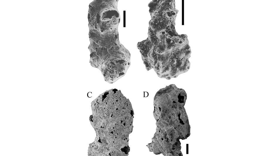 760 Millionen Jahre alte Fossilien: Die schwarze Linie zeigt einen Zehntelmillimeter