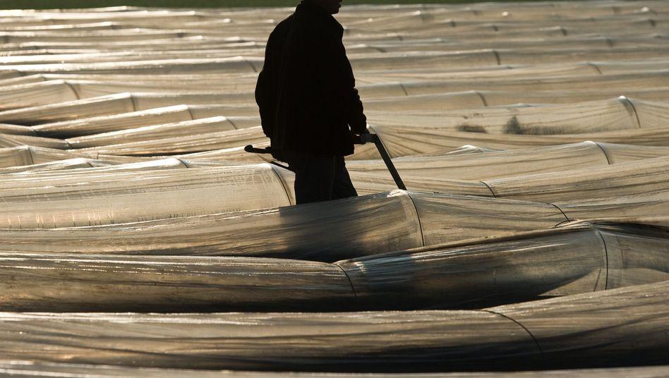 Saisonarbeiter auf einem Spargelfeld: Erstmals Arbeiten ohne Genehmigung
