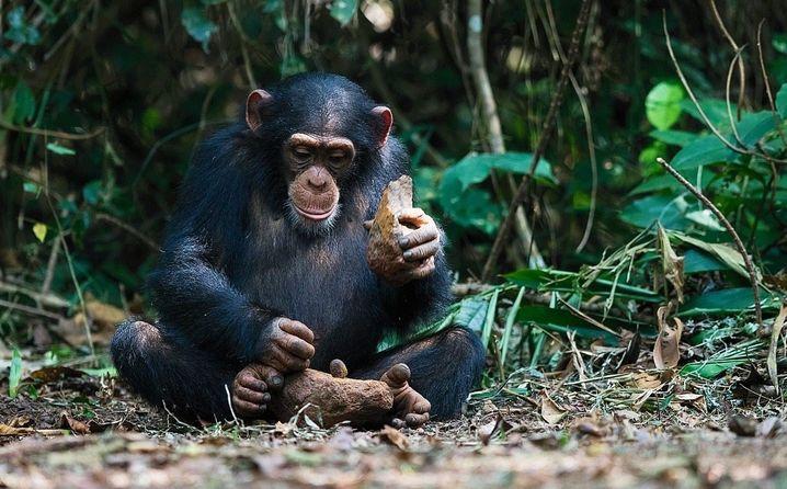 Auch in der Wildnis nutzen Schimpansen geschickt Werkzeuge: Harte Nüsse knacken sie mit Steinen.