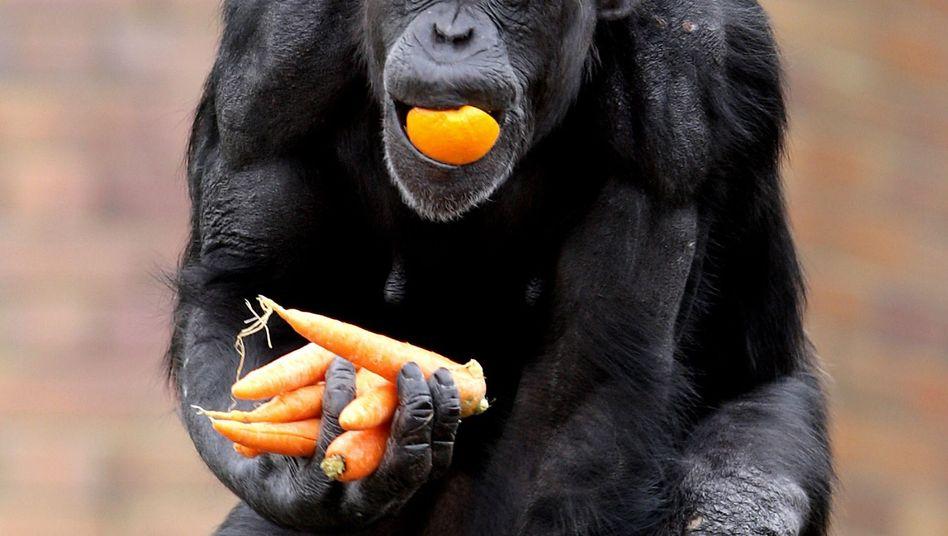 Schimpanse im Taronga Zoo, Sydney: Wo gibt's was zu essen?