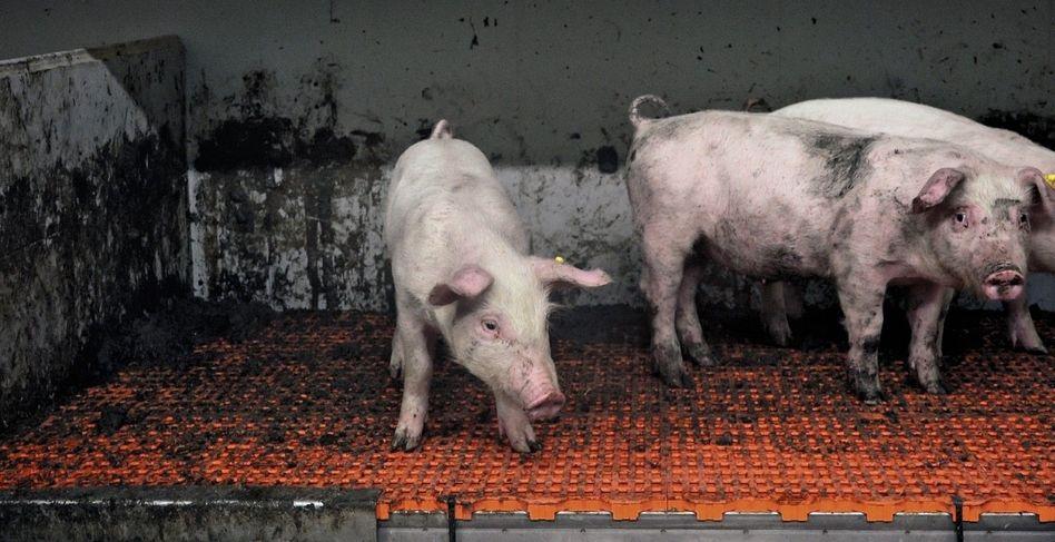Ferkel in Tierwohl-Betrieb: »Eine der größten PR-Lügen«