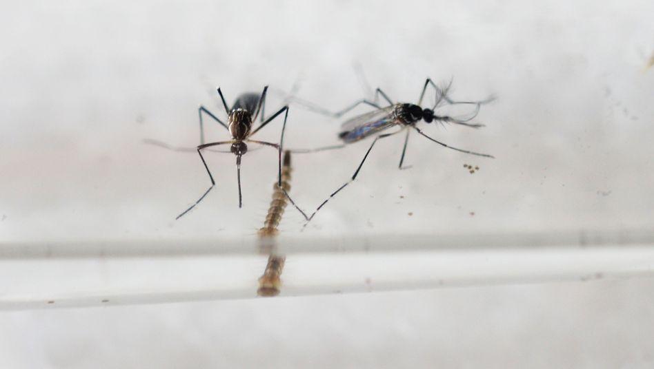 Aedes Mücke: Überträger des Virus