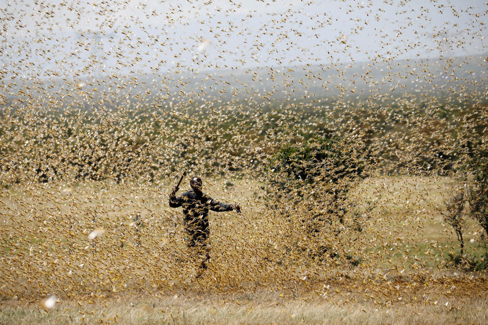 A man attempts to fend-off a swarm of desert locusts at a ranch near the town on Nanyuki in Laikipia county
