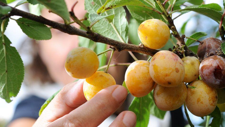 Mirabellen in einem Obstgarten: Bauern klagen über Diebstahl von Feldern