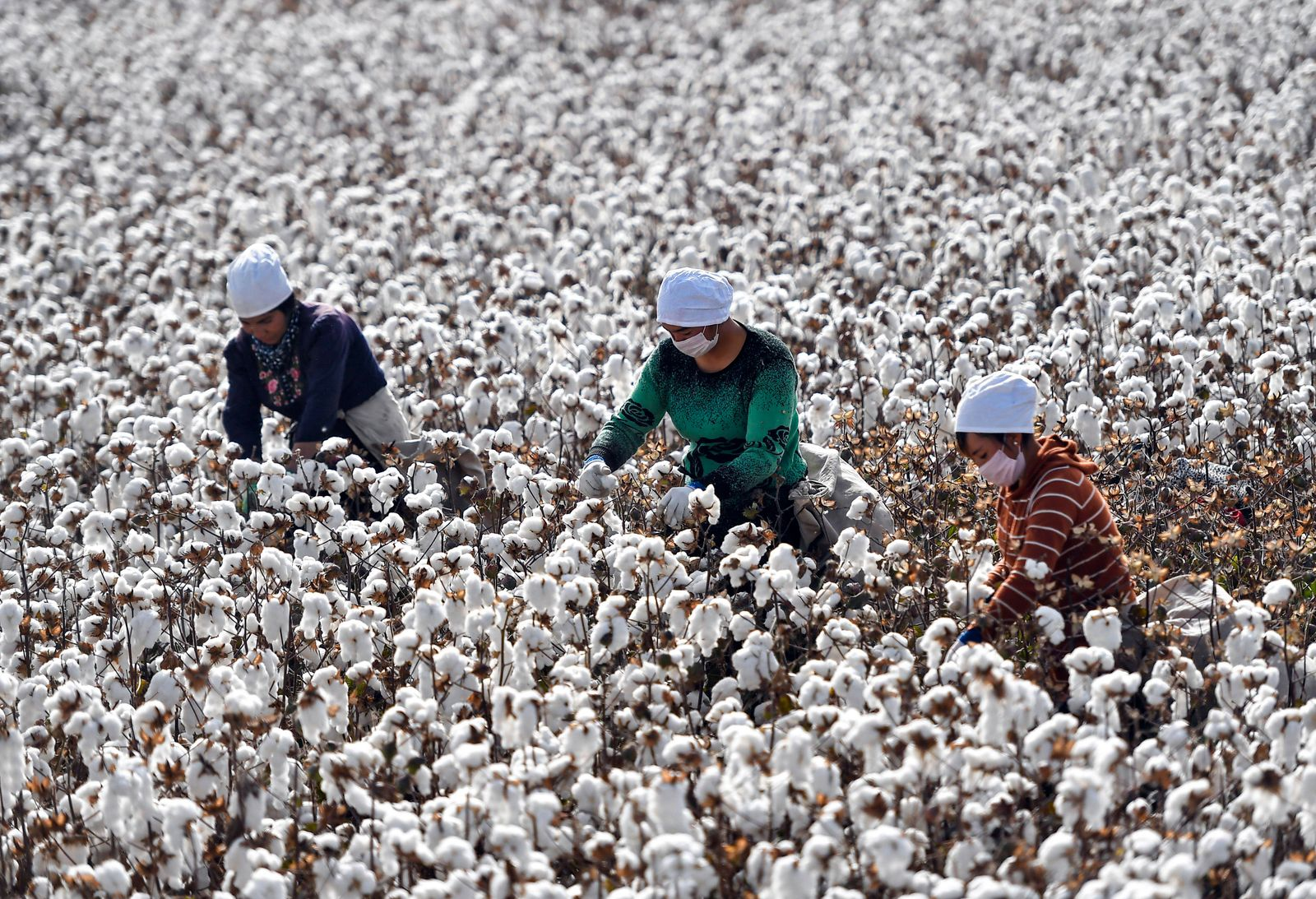 SHAYA, CHINA - OCTOBER 21: Farmers pick cotton during the harvest on October 21, 2019 in Shaya County, Xinjiang Uygur Au