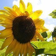 Sonnenblume (im Juni 2007): Wärmerekord aus Zwölfmonats-Perspektive