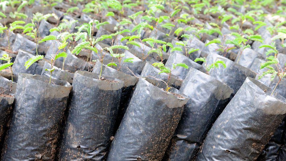Baumsetzlinge für ein Wiederaufforstungsprogramm in Afrika: 85 Prozent der Projekte zur CO2-Kompensation könnten wirkungslos sein