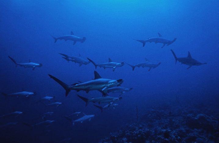 Haie: Auf den Azoren nur schwer zu erreichen - und teuer