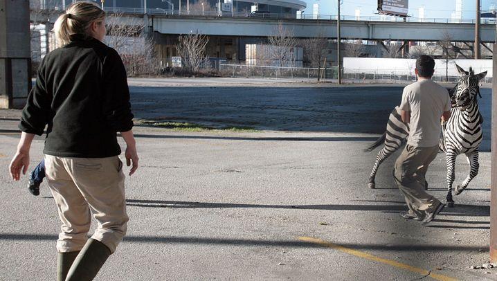 Entlaufenes Zirkustier: Zebrajagd im Großstadtdschungel