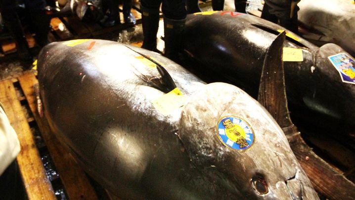 Gefährdeter Thunfisch: Japans Lieblingsmeeresgetier