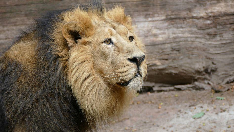 Löwe Subali
