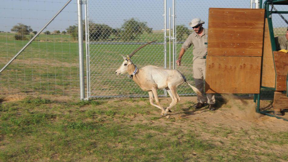 Säbelantilope auf dem Weg in die Freiheit