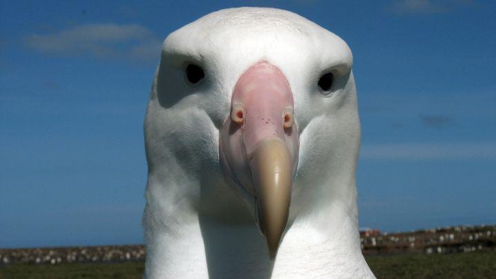 Albatrosse: Langstreckenflug mit Windantrieb