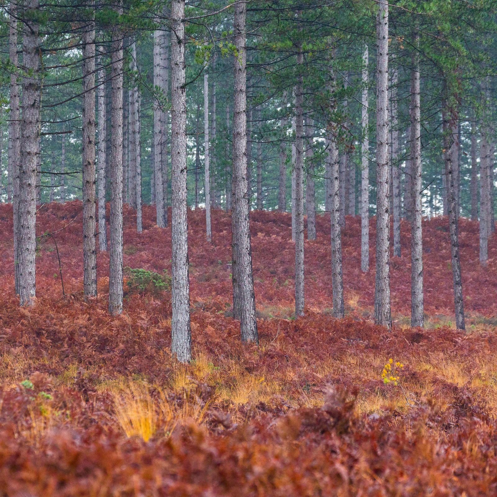 Rempstone Heath, Purbeck, Dorset.