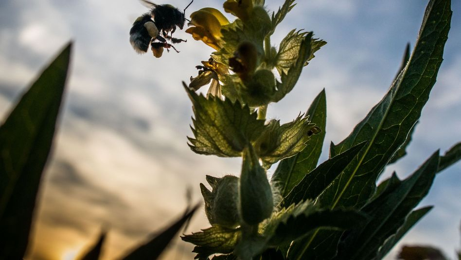 Hummel sammelt Nektar und Pollen