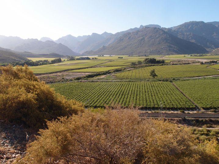 Weinreben in Südafrika