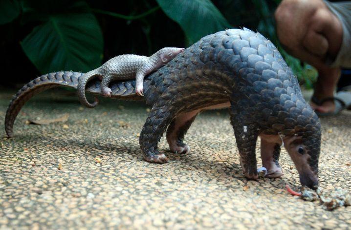 Pangolin-Weibchen mit Jungtier: Laut WWF sind aufgrund von Wilderei alle acht Arten dieser Schuppentiere bedroht