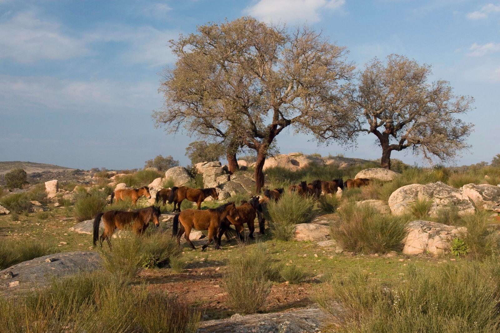 Garrano-Pferde im Faia Brava-Reservat © Faia Brava