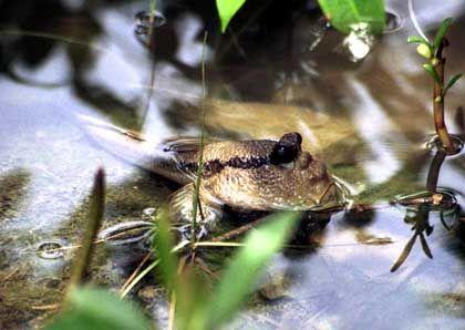 Ein Fisch, der lieber Frosch wäre: Schlammspringer leben im Mangrovenwald von Sungei Buloh